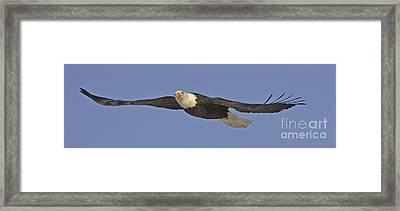 Soaring Bald Eagle Framed Print by Tim Grams