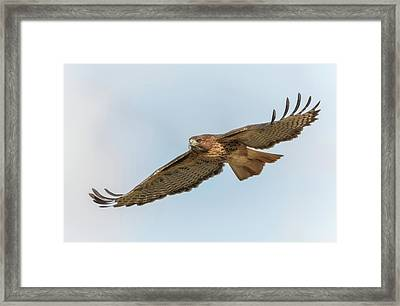 Framed Print featuring the photograph Soaring Hawk 2 by Angie Vogel