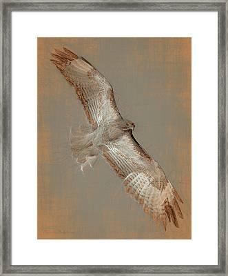 Soaring Hawk  Framed Print by Chris LeBoutillier