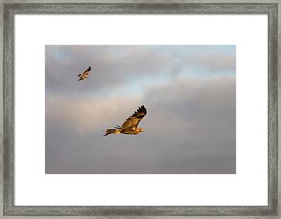 Soaring Pair Framed Print by Mike  Dawson