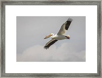 Soaring Pelican Framed Print by Thomas Young