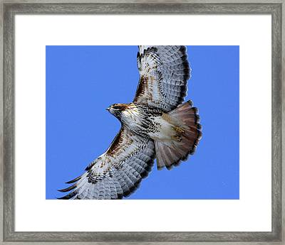 Soaring Red-tail Framed Print