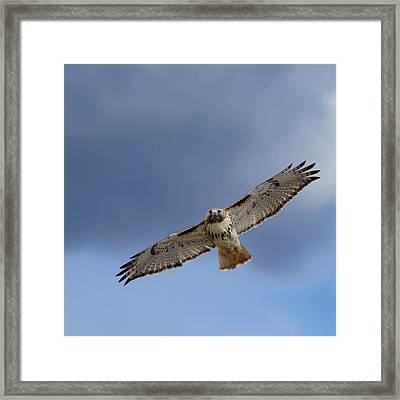 Soaring Red Tail Square Framed Print by Bill Wakeley