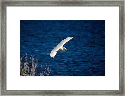 Soaring Snowy Egret  Framed Print by DigiArt Diaries by Vicky B Fuller