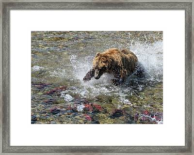 Framed Print featuring the photograph Sockeye In Sight  by Cheryl Strahl