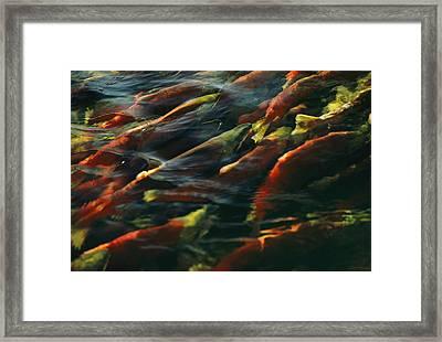 Sockeye Salmon Swim Upstream To Spawn Framed Print by Robert Sisson