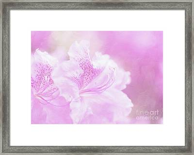 Soft And Lovely Pink Rhododendrons  Framed Print