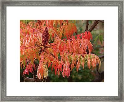 Soft Autumn Rain On Sumac Leaves Framed Print by Gill Billington