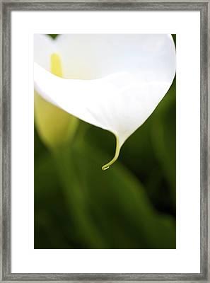 Soft Calla Framed Print