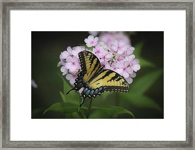 Soft Focus Tiger Swallowtail Framed Print by Teresa Mucha