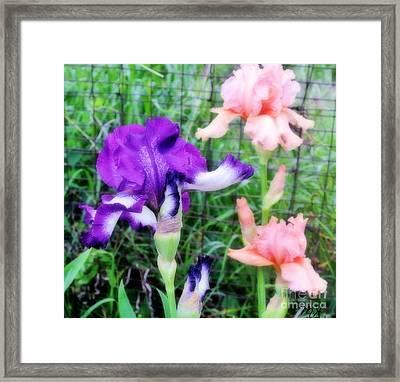 Soft Iris Bouquet Framed Print by Marsha Heiken