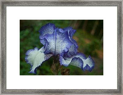 Soft Iris Framed Print by Douglas Barnett