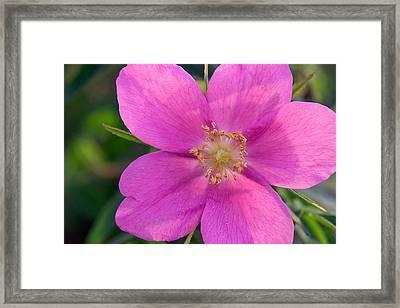 Soft Light On Nootka Rose Rosa Nutkana Framed Print by Ralph Lee Hopkins