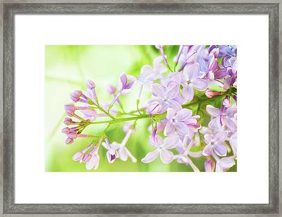 Soft Lilac Framed Print by Camille Lopez