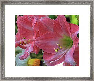 Framed Print featuring the photograph Soft Lilies by Robert Pilkington