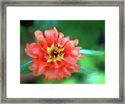 Soft Peach Ruffled Petals Framed Print by Sue Melvin