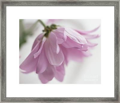 Soft Pink Framed Print