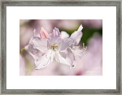 Soft Pink Rhododendron Or Azalea Framed Print by Arletta Cwalina