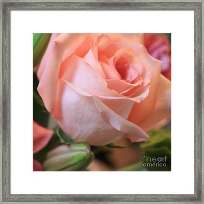 Soft Pink Rose Framed Print by Carol Groenen
