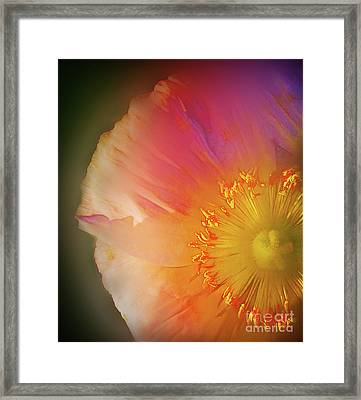 Soft  Poppy Whisper Framed Print by Judi Bagwell