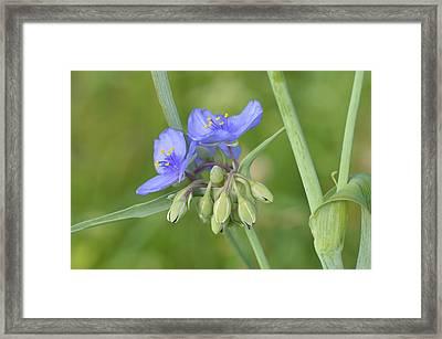 Soft Purple Spider Framed Print