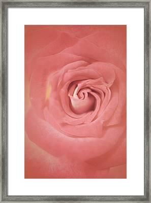 Soft Rosy Rose Framed Print
