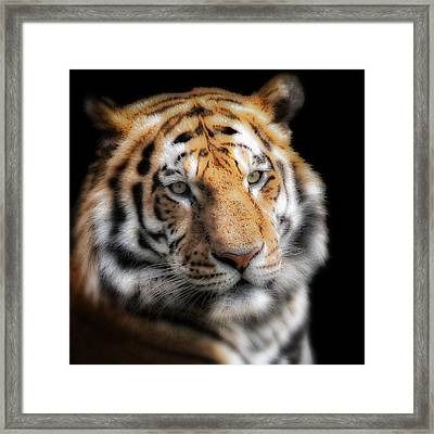Soft Tiger Portrait Framed Print