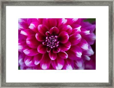 Soft Touch Dahlia Framed Print by Mary Jo Allen