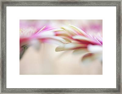 Framed Print featuring the photograph Soft Touch. Macro Gerbera by Jenny Rainbow