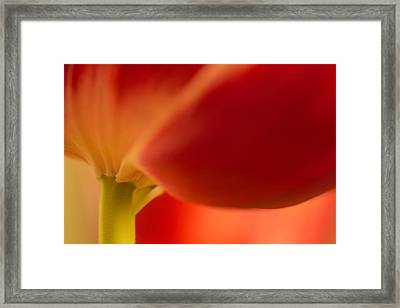 Soft Tulip Framed Print