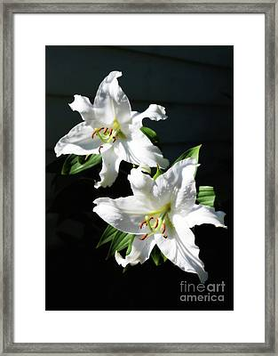 Soft White Lilies Framed Print by Carol Groenen