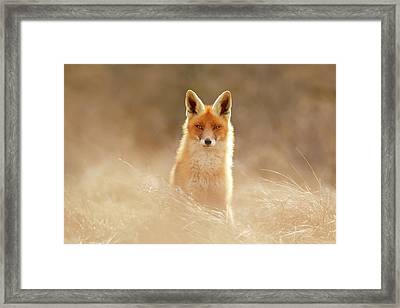 Softfox Series - Sunshine Fox II Framed Print