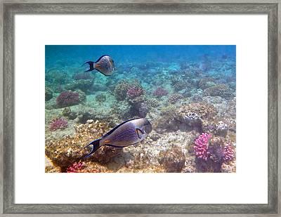Sohal Surgeonfish Framed Print