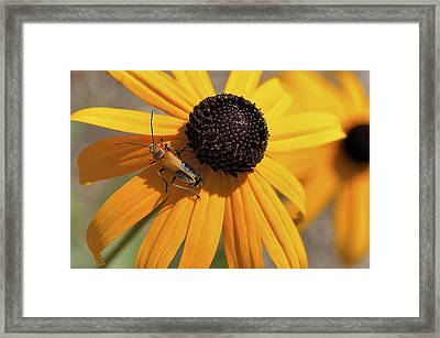 Soldier Beetle On His Flower Framed Print