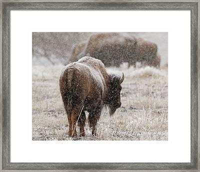 American Bison In Snow Framed Print