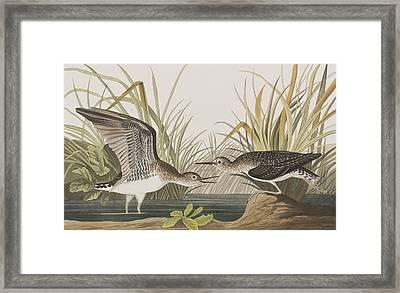 Solitary Sandpiper Framed Print by John James Audubon