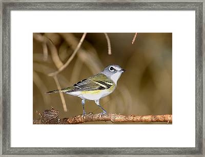 Solitary Vireo Framed Print by Alan Lenk