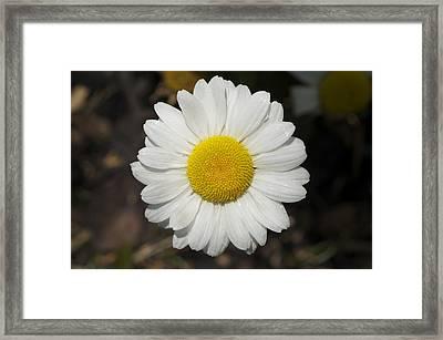 Solo Daisy Framed Print
