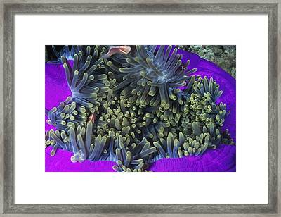 Solomon Islands Amphiprion Perideraion Framed Print by James Forte