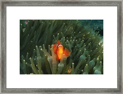 Solomon Islands, Spine Cheak Framed Print by James Forte