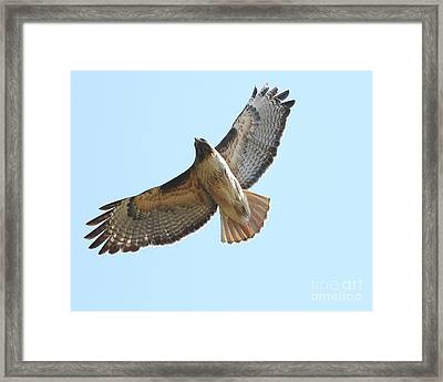 Somewhere In The Sky A Red Tailed Hawk Soars Framed Print by Wingsdomain Art and Photography