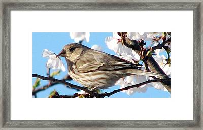 Song Sparrow Dining Out Framed Print by Angela Davies