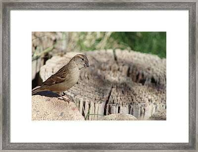 Song Sparrow Looks Curious Framed Print