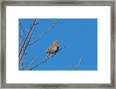 Framed Print featuring the photograph Song Sparrow by Michael Peychich