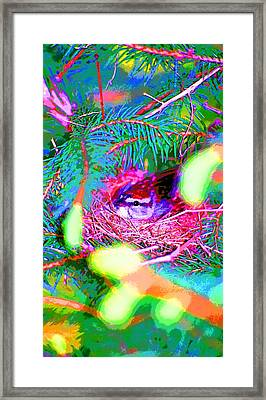 Song Sparrow On Nest Image Framed Print by Paul Price