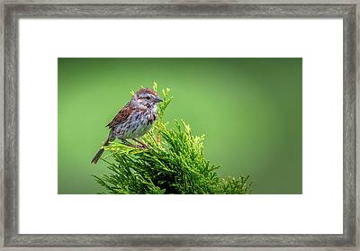 Song Sparrow Perched - Melospiza Melodia Framed Print