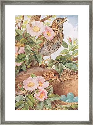 Song Thrushes With Nest Framed Print