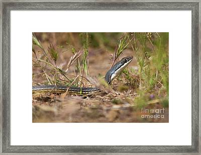 Sonoran Whipsnake Framed Print by Mike Cavaroc