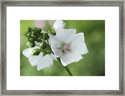 Spray Of Mallow Framed Print by Connie Handscomb