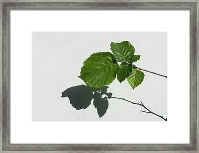 Sophisticated Shadows - Glossy Hazelnut Leaves On White Stucco - Horizontal View Left Upwards Framed Print by Georgia Mizuleva